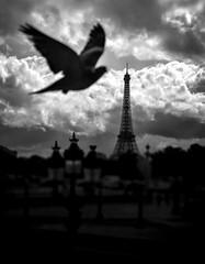Bird of Paris (Selena Sheridan) Tags: paris eiffel tower pigeon noir hitchcock birds city france structure moody clouds dark street cloudy