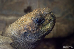 Tortue brune (Manouria emys) (Dicksy93) Tags: img4293 portrait tortue brune manouriaemys statutiucnen endanger reptile reptil reptiel rettile ovipare herbivore testudinidae tête oeil animal faune nature zooparc trégomeur côtes darmor 22 bretagne breizh bzh brittany armorique france europe dicksy93 canon eos 7d ef 100400mm itsazoooutthere