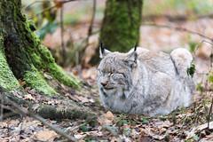 Relax (ThoHo70) Tags: luchs lynx cat katze raubkatze wildtier sugetier