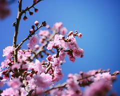 hanami (te whiu) Tags: flowers flower colour digital spring nikon flickr blossom explore bloom explored flowersandgardens tewhiu d3100