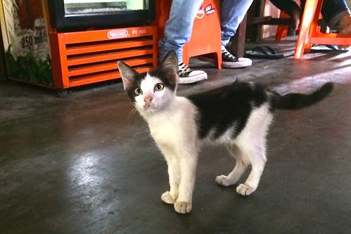 Surabaya kitten