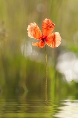 dreaming poppyblossom (Uta Naumann) Tags: summer flores flower reflection nature water fleurs photography wasser fotografie flor meadow poppy poppies fiori spiegelung mohn mohnblte summerbloom nikond90 utanaumann