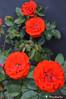 La rose (Radcha) Tags: flower rot fleur rose rouge nikon belgium d jardin rosa blumen garten kokino