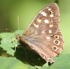 Speckled wood Butterfly (kaylo88) Tags: wood butterfly speckled nymphalidae speckledwoodbutterfly parargeaegeria pararge aegeria britishbutterfly bigbutterflycount bigbutterflycount2014