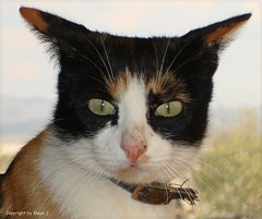 Lisa 301107 6 (maya.walti HK) Tags: cats animals tiere flickr lisa gatos animales katzen stubentiger unserekatzen copyrightbymayawaltihk fotosquerbeet
