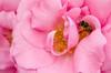 Pinke Rosen Bevorzugt (Silaris Inc.) Tags: flower rose deutschland pflanze blume dortmund nordrheinwestfalen biene rosaceae rosengewächs justpentax smcdal1855mmf3556al