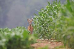 Frontire. (lilian.lemonnier) Tags: mammals roedeer mammalia chevreuil capreoluscapreolus cervidae artiodactyla mammifres cervids artiodactyles