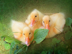 IMG_6322  Holy cutness: Athos, Portos & Aramis - ON EXPLORE # 21 (pinktigger) Tags: italy cute bird nature duck soft italia sweet goslings mallard dei friuli oasi fagagna quadris ducklet oasideiquadris feagne
