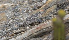 Pygmy Nightjar_Bacurauzinho-da-caatinga_Hydropsalis hirundinacea