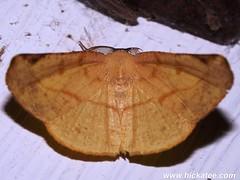 Geometer Moth - Family Geometridae - NMW 21 July 2014-167 (Dis da fi we) Tags: belize geometermoth geometridae jungle moth puntagorda toledo wildlife nationalmothweek nationalmoth mothing cottages hickatee