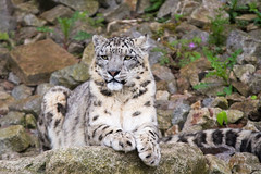 Assam (Cloudtail the Snow Leopard) Tags: zoo karlsruhe tier animal mammal säugetier cat big katze groskatze raubkatze beutegreifer snow leopard schneeleopard irbis panthera uncia assam male cloudtailthesnowleopard