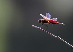 Carolina Saddlebags (sbuckinghamnj) Tags: park camp dragonfly rifle nj carolina saddlebags