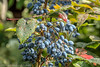 Blaue Beeren (Reinhard Schulz) Tags: garten hdr wassertropfen blaubeeren