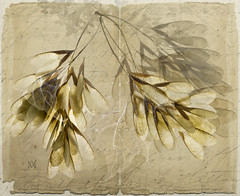 maple seeds (marianna.armata) Tags: texture collage composite writing photoshop paper book leaf maple branch seed page layers script psd translucency mariannaarmata
