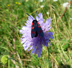 Burnet on Scabious (grahamramsden52) Tags: butterfly chalk insects