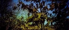 Remnants of Winter (Ricoh R1, Kodak Color 200 - expired 2001) (baumbaTz) Tags: trees tree leaves iso200 leaf kodak r1 expired blatt leafes blätter bäume ricoh baum expiredfilm ricohr1 farbwelt
