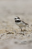 Wilson's plover (Giovanni Caddeo) Tags: wildlife animalplanet naturalmente wilsonsplover charadriuswilsonia defendersofwildlife earthhour nginationalgeographicbyitalianpeople totalphotoshop nikonclubit corrierediwilson