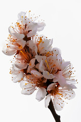 Spring Blooms (http://fineartamerica.com/profiles/robert-bales.ht) Tags: pink plants plant flower rose spectacular spring awesome fineart scenic surreal peaceful brush idaho whitebackground sensational pedals blooms inspirational spiritual sublime ornamental magical emmett magnificent inspiring peachtree haybales prunus greetingcards whiteflowers floweringtrees fruittrees deciduoustree flowerphotography prunuspersica canonshooter flowerblooms rosaceaefamily idahophotography americanphotograph robertbales northamericanphotography floweringtreepeach