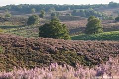 Posbank Rheden (Josette Veltman) Tags: sunset nature zonsondergang heather natuur lanscape veluwe posbank heide landschap paars gelderland rheden