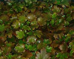 Saxifraga fortunei 'Mount Nachi'