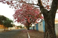 Ipê (1220) (Jorge Belim) Tags: flora flor ipê árvore 70200 canoneos50d catingueirogrande