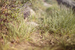 A Soft Patch (marq4porsche) Tags: california light plants abstract color green nature up field grass contrast canon outside outdoors 50mm focus soft mood open close bokeh 14 wide tahoe vegetation patch tones depth select 6d