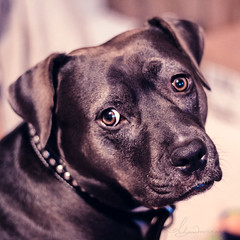 So Worried (AlyKPhoto) Tags: blackandwhite bw rescue dog pet love loving happy friend memories happiness canine pit pitbull bully bestfriend mydog loyal staffordshireterrier