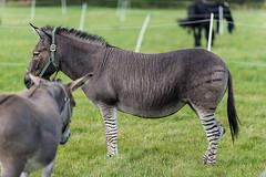 _SLN0976 (zamon69) Tags: animal se skne sweden circus donkey cirkus djur eslv sna cirkusmaximum