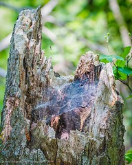 Spider Web in a Stump (Southern New England Photography) Tags: wood tree canon spider spiderweb bugs middlesex treestump sigmalens eos70d middlesexfellsreserve