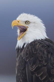 Eagle Screaming