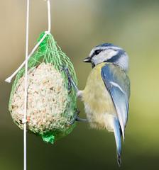 blue tit (magnus.johansson10) Tags: nature birds sweden stockholm tamron bluetit blåmes d810 nikond810 tamron150600