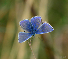 Common  Blue (williamrandle) Tags: butterfly nikon depthoffield torcross 2014 hollyblue slaptonley d7100 nikonafs8040mm4556ged