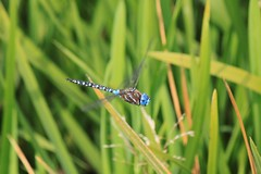 IMG_4278 (TMM Cotter) Tags: christmas lake nature insect swan bc dragonfly hill victoria sanctuary multicolor darner blueeyed rhionaeschna