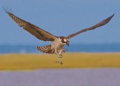 Labor Day Weekend - Last Dance of the Osprey (Feathered Trail Photos) Tags: osprey forsythe mfcc jerseybirds njaudubon fabuleuse mynj