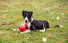 Jasper - Border Collie (Quentin Boullier) Tags: dog chien puppy collie jasper border doggy chiot quentin japser boder bicolore boullier