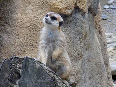 Erdmnnchen (Shakar Photography) Tags: park animal germany munich zoo meerkat tierpark muenchen suricatta suricata ermnnchen