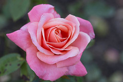 Pink Rose (AmbitiousJam) Tags: pink red flower nature floral rose canon floralappreciation