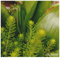 063 (imagepoetry) Tags: plants green nature garden 50mm succulent sony leafes naturelover imagepoetry gardenlover nex5r