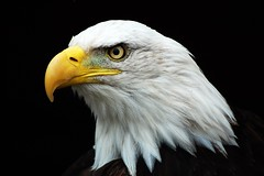 Bald eagle (James L Taylor) Tags:
