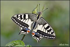 Papilio machaon (alfvet) Tags: macro nikon ngc butterflies natura npc farfalle sigma150 parcodelticino veterinarifotografi d5100