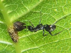 Ant Tending Treehopper_2015.06.11 (1 of 2) (Urutu_From_SW_PA) Tags: ant treehopper wingstem verbesina treehoppers entyliacarinata entylia verbesinaalternifolia anttending antstending