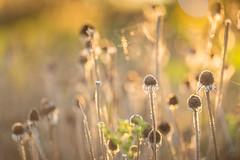 Autumn's Gold (Elizabeth_211) Tags: bokeh flowers dried garden nature 135mm autumn