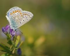pennellando... (andrea.zanaboni) Tags: dipinta farfalla butterfly colori colors nikon macro fiori flowers autunno light macrofloreali