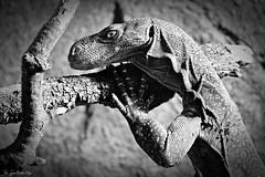 Te estoy vigilando (jcmejia_acera) Tags: selva varano cocodrilo lagarto reptil animal faunia parque zoo