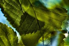 Multiple Nature 345 (pni) Tags: leaf vein dof blur focus multiexposure multipleexposure tripleexposure tlnlahti tlviken helsinki helsingfors finland suomi pekkanikrus skrubu pni