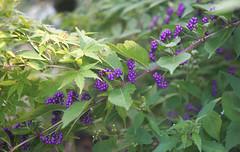 DSC04023 (Old Lenses New Camera) Tags: sony a7r schneider schneiderkreuznach xenon 5cm 50mm f2 plants garden beautyberry