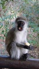 Mono comiendo (Alicia Julin) Tags: masari mara mono kenia africa safari monkey kenya