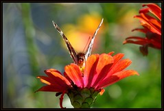 IMG_1808 Bats in Her Belfry 9-15-16 (arkansas traveler) Tags: butterfly bichos bugs insects flowers zinnia bokeh bokehlicious nature naturewatcher zoom telephoto abstract abstraction natureartphotography