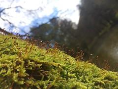 (ollieoxley) Tags: europe bosnia nature park rain wet dew moss mossy green cute macromonday macro