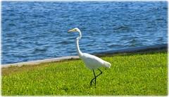 Northshore Park - St Petersburg, FloridaDSC_9817 (lagergrenjan) Tags: northshore park st petersburg florida tampa bay bird